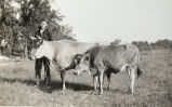 David Bloodgood with cows circa 1935