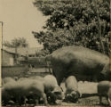 Sow and piglets in a pen circa 1949
