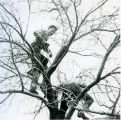 F.F.A. boys in a tree circa 1954