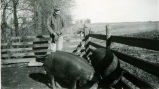 Charles Pettijohn with hogs in a pen circa 1950