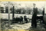 Charles Anderson with sheep in a pen circa 1940