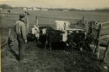 Carlyle Thompson with cattle in a pen circa 1951